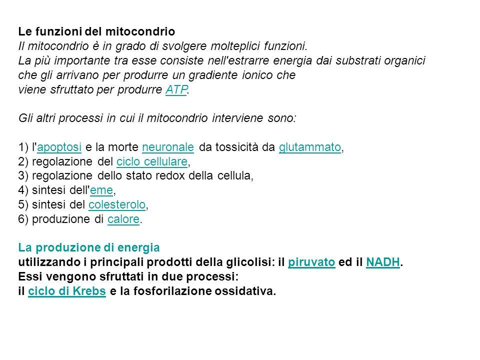 Le funzioni del mitocondrio Il mitocondrio è in grado di svolgere molteplici funzioni. La più importante tra esse consiste nell'estrarre energia dai s