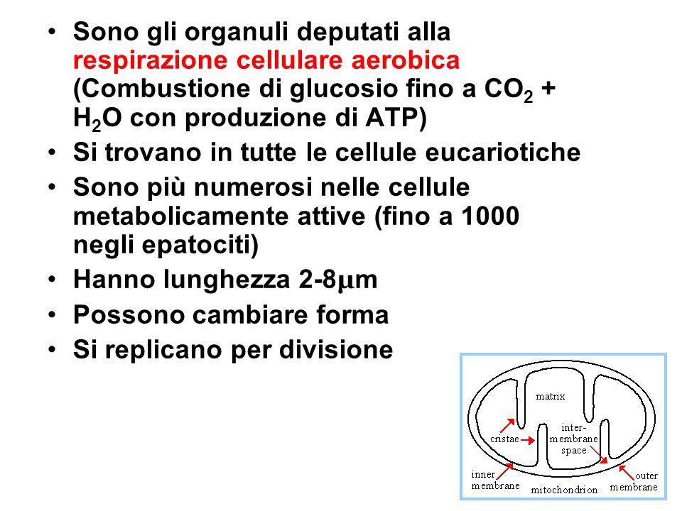 Sono gli organuli deputati alla respirazione cellulare aerobica (Combustione di glucosio fino a CO 2 + H 2 O con produzione di ATP) Si trovano in tutt