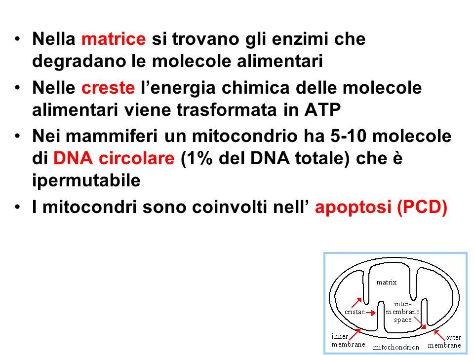 b)Mutazioni puntiformi situate in geni che codificano subunità proteiche degli enzimi mitocondriali.