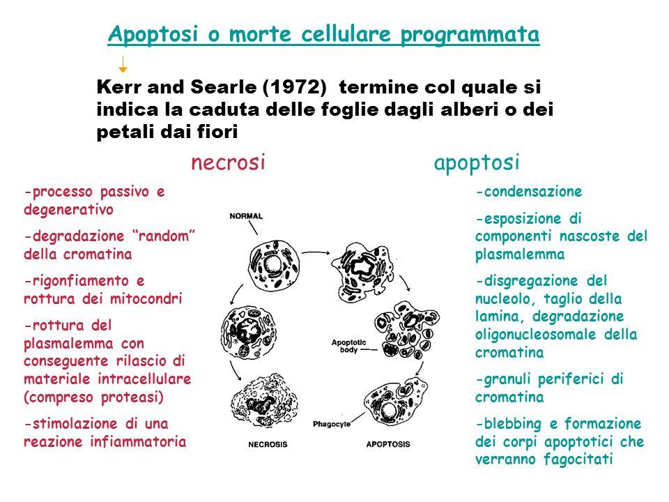 Apoptosi o morte cellulare programmata Kerr and Searle (1972) termine col quale si indica la caduta delle foglie dagli alberi o dei petali dai fiori n