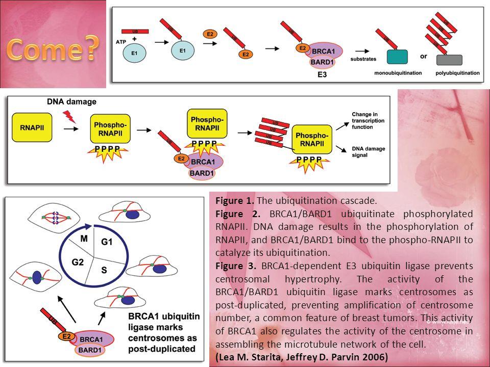 Figure 1. The ubiquitination cascade. Figure 2. BRCA1/BARD1 ubiquitinate phosphorylated RNAPII. DNA damage results in the phosphorylation of RNAPII, a