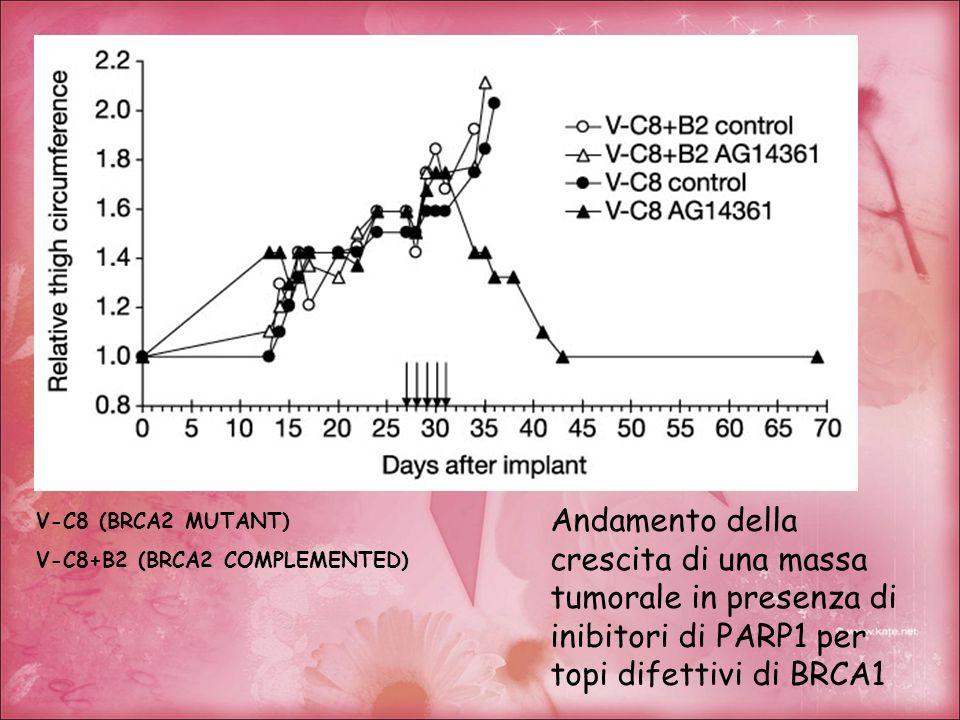 V-C8 (BRCA2 MUTANT) V-C8+B2 (BRCA2 COMPLEMENTED) Andamento della crescita di una massa tumorale in presenza di inibitori di PARP1 per topi difettivi d