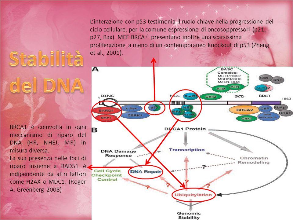 Linterazione con p53 testimonia il ruolo chiave nella progressione del ciclo cellulare, per la comune espressione di oncosoppressori (p21, p27, Bax).