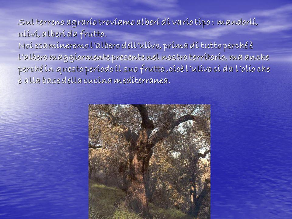 Sul terreno agrario troviamo alberi di vario tipo : mandorli, ulivi, alberi da frutto. Noi esamineremo lalbero dellulivo, prima di tutto perché è lalb