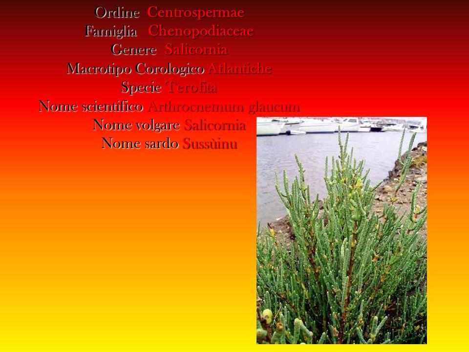 Arbusto ramoso alto 30 - 90 cm.circa, cespitoso legnoso alla base ed erbaceo superiormente.