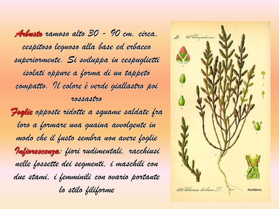 Arbusto ramoso alto 30 - 90 cm. circa, cespitoso legnoso alla base ed erbaceo superiormente. Si sviluppa in cespuglietti isolati oppure a forma di un