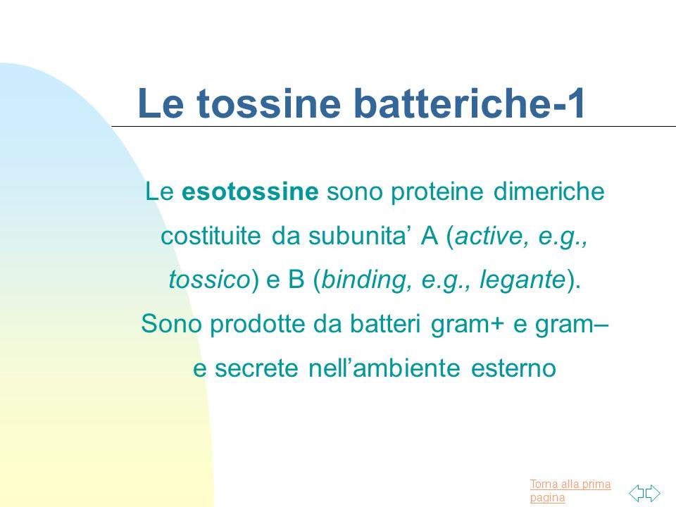 Torna alla prima pagina Le tossine batteriche-1 Le esotossine sono proteine dimeriche costituite da subunita A (active, e.g., tossico) e B (binding, e
