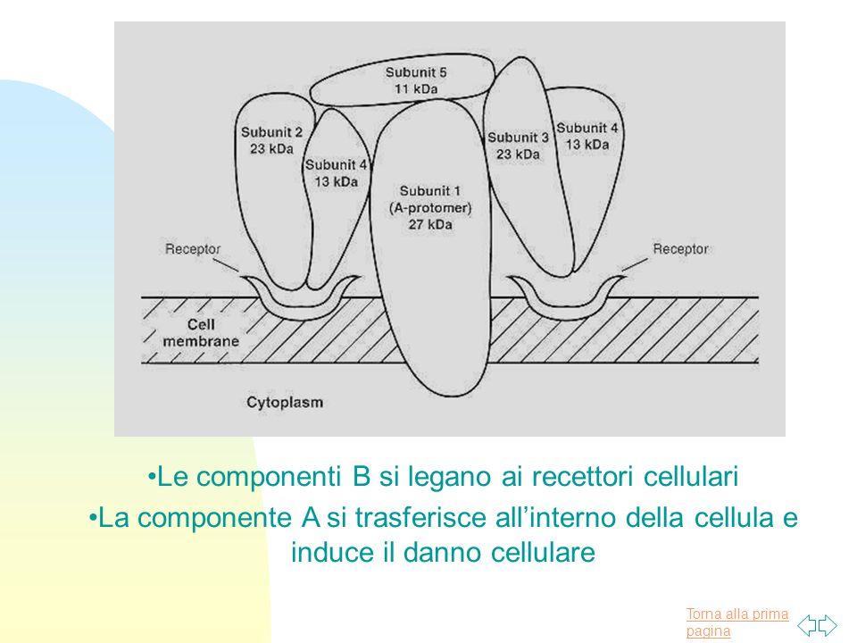 Torna alla prima pagina Le componenti B si legano ai recettori cellulari La componente A si trasferisce allinterno della cellula e induce il danno cel