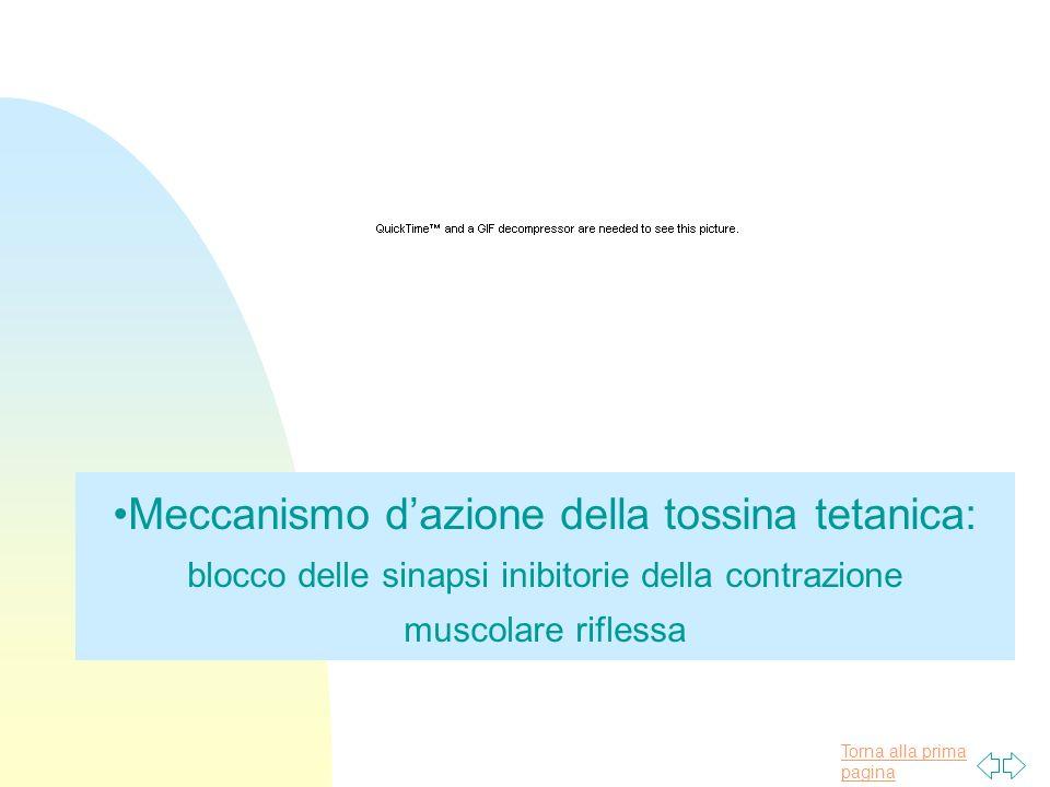 Torna alla prima pagina Meccanismo dazione della tossina tetanica: blocco delle sinapsi inibitorie della contrazione muscolare riflessa