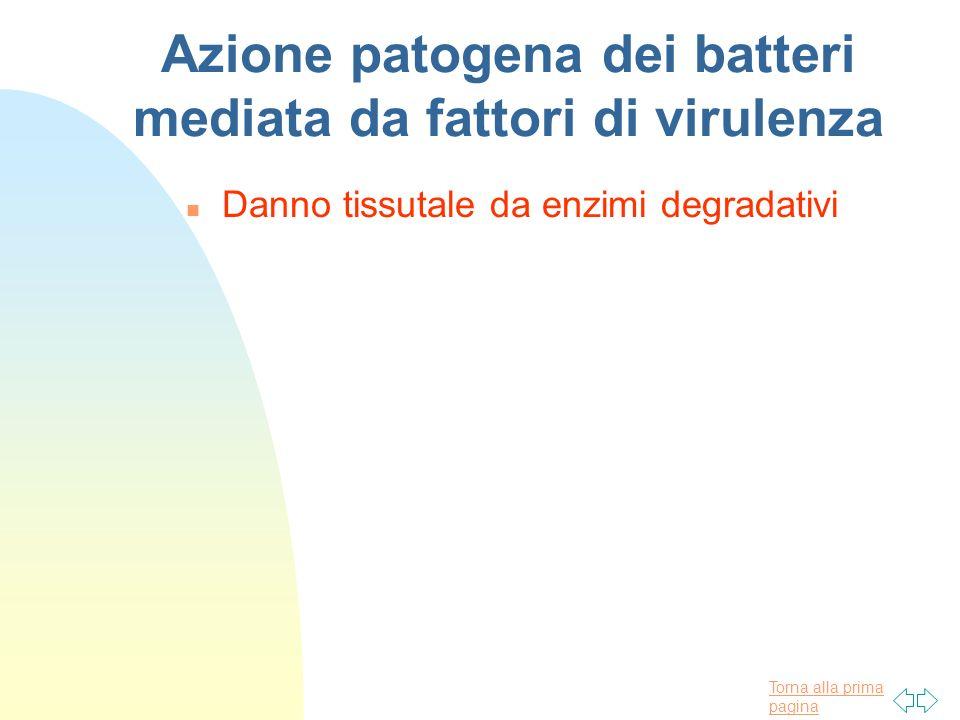 Torna alla prima pagina Azione patogena dei batteri mediata da fattori di virulenza n Danno tissutale da enzimi degradativi