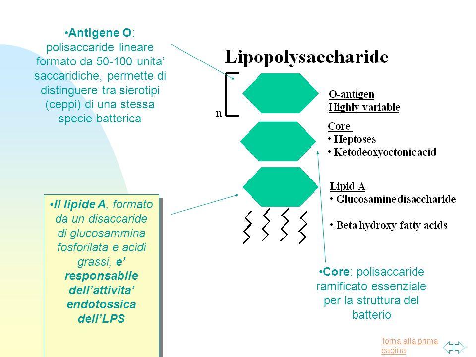 Torna alla prima pagina Il lipide A, formato da un disaccaride di glucosammina fosforilata e acidi grassi, e responsabile dellattivita endotossica del