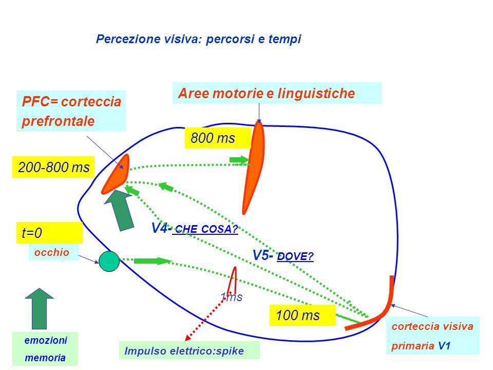 occhio corteccia visiva primaria V1 PFC= corteccia prefrontale V4- CHE COSA? V5- DOVE? Aree motorie e linguistiche t=0 800 ms 200-800 ms Percezione vi