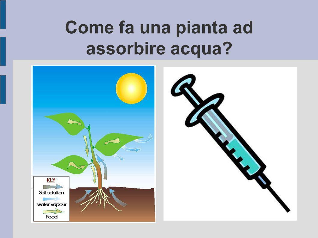 Come fa una pianta ad assorbire acqua?