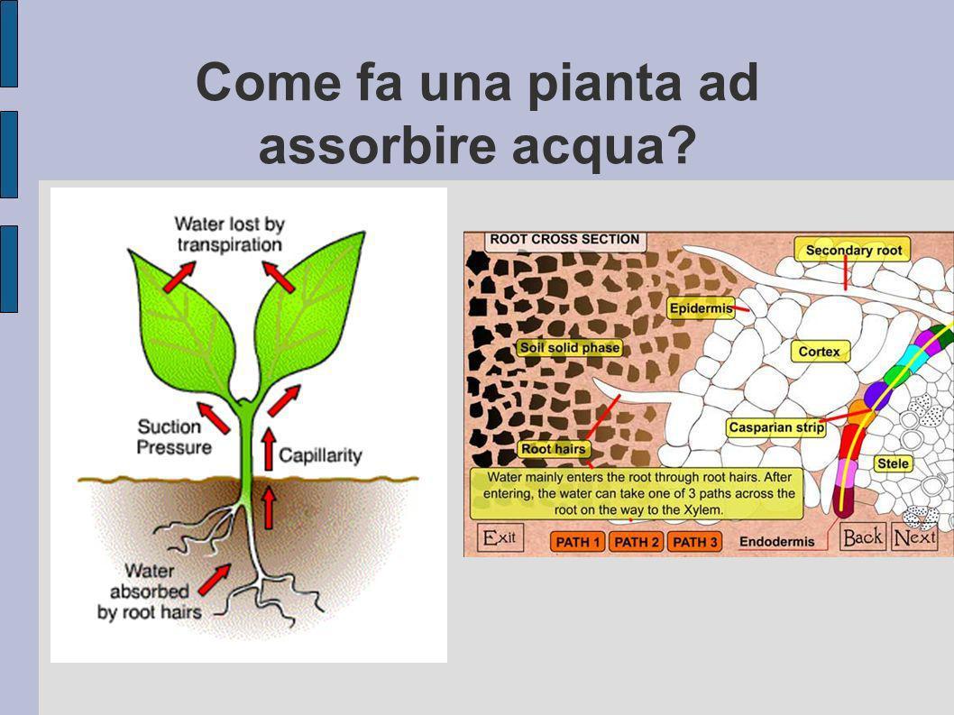 Caratteristica delle colture e Acqua facilmente diponibile Per evitare che secchino le piante queste devono essere irrigate non al Punto di Appassimento Permanente ma al Punto Critico.