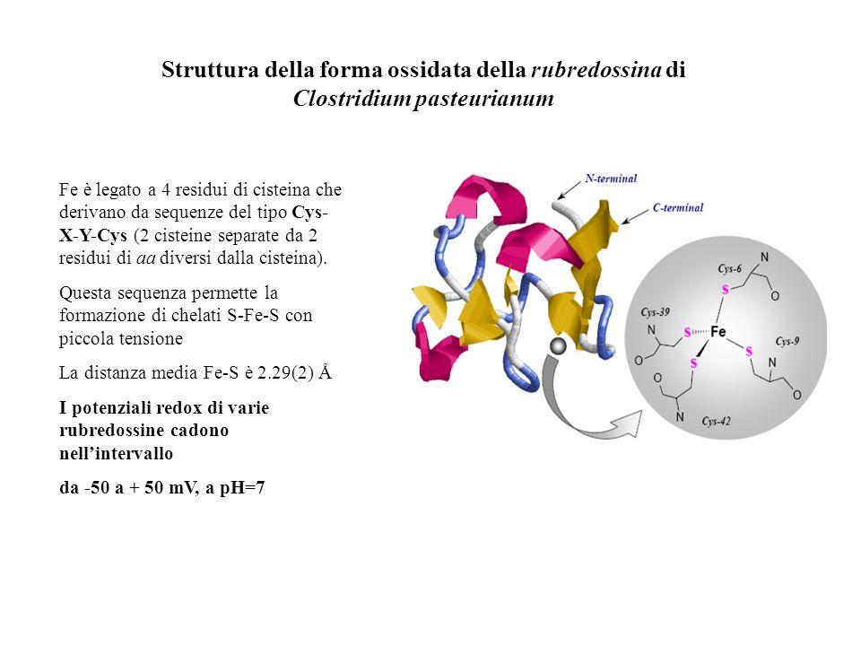 Struttura della forma ossidata della rubredossina di Clostridium pasteurianum Fe è legato a 4 residui di cisteina che derivano da sequenze del tipo Cy