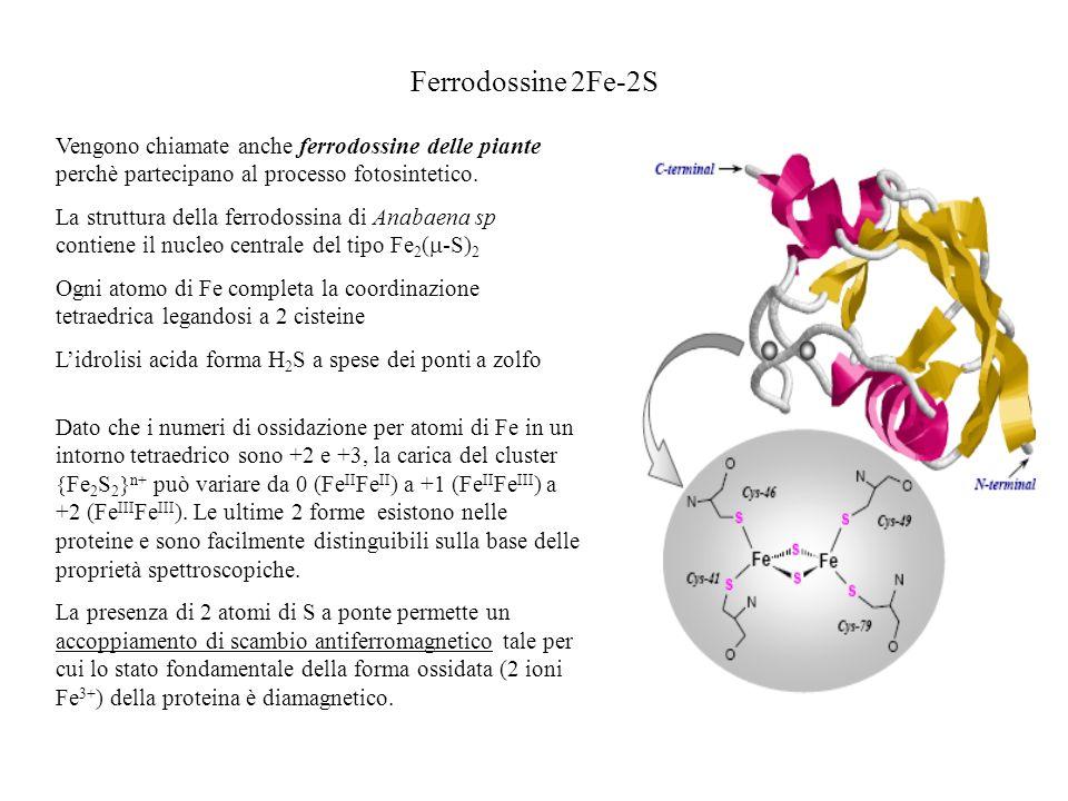 Ferrodossine 2Fe-2S Vengono chiamate anche ferrodossine delle piante perchè partecipano al processo fotosintetico. La struttura della ferrodossina di
