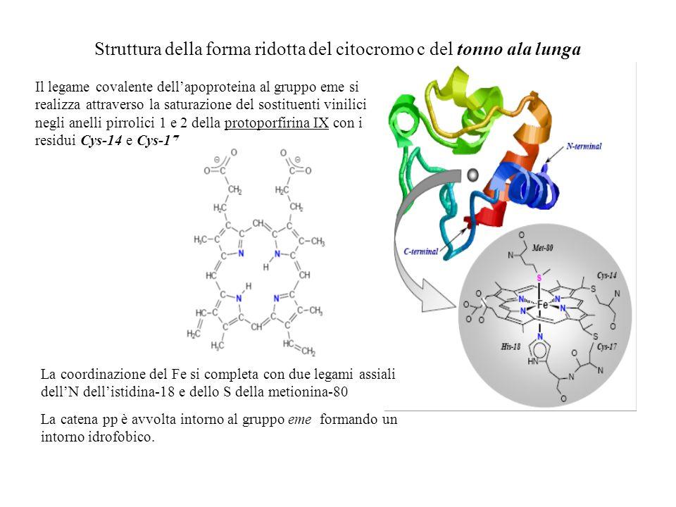 Struttura della forma ridotta del citocromo c del tonno ala lunga Il legame covalente dellapoproteina al gruppo eme si realizza attraverso la saturazi