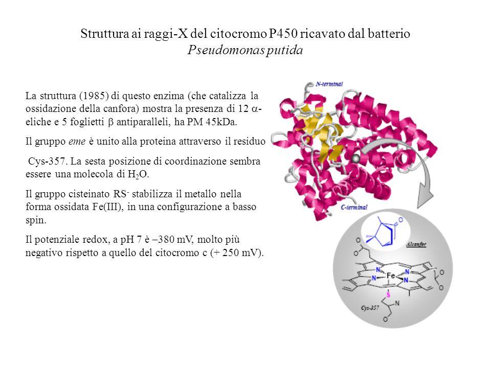 Struttura ai raggi-X del citocromo P450 ricavato dal batterio Pseudomonas putida La struttura (1985) di questo enzima (che catalizza la ossidazione de