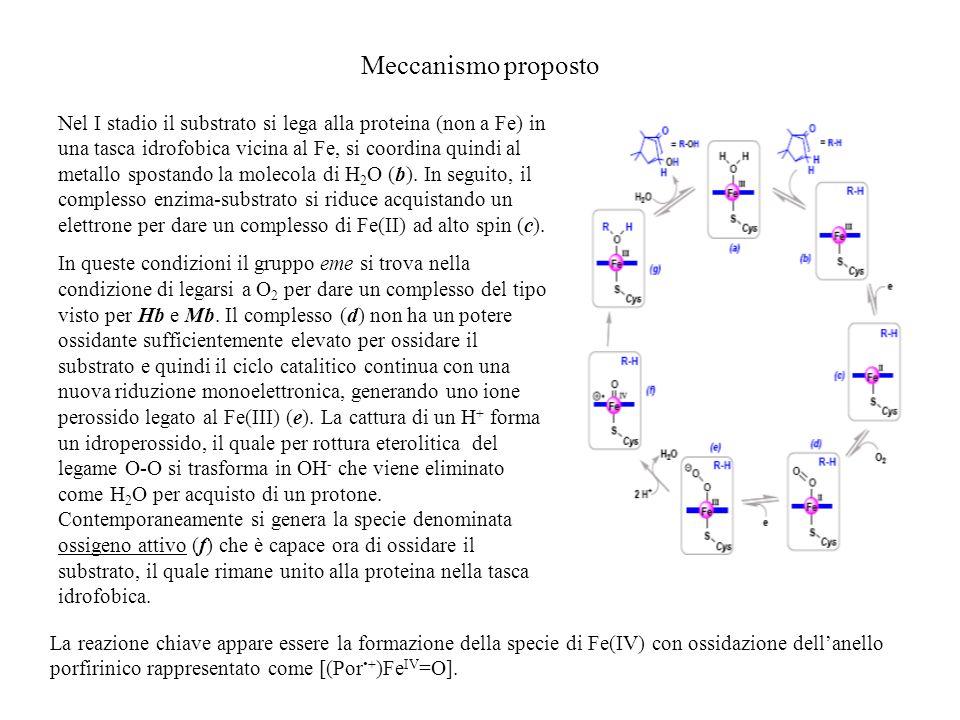 Meccanismo proposto Nel I stadio il substrato si lega alla proteina (non a Fe) in una tasca idrofobica vicina al Fe, si coordina quindi al metallo spo