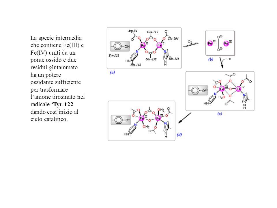 La specie intermedia che contiene Fe(III) e Fe(IV) uniti da un ponte ossido e due residui glutammato ha un potere ossidante sufficiente per trasformar