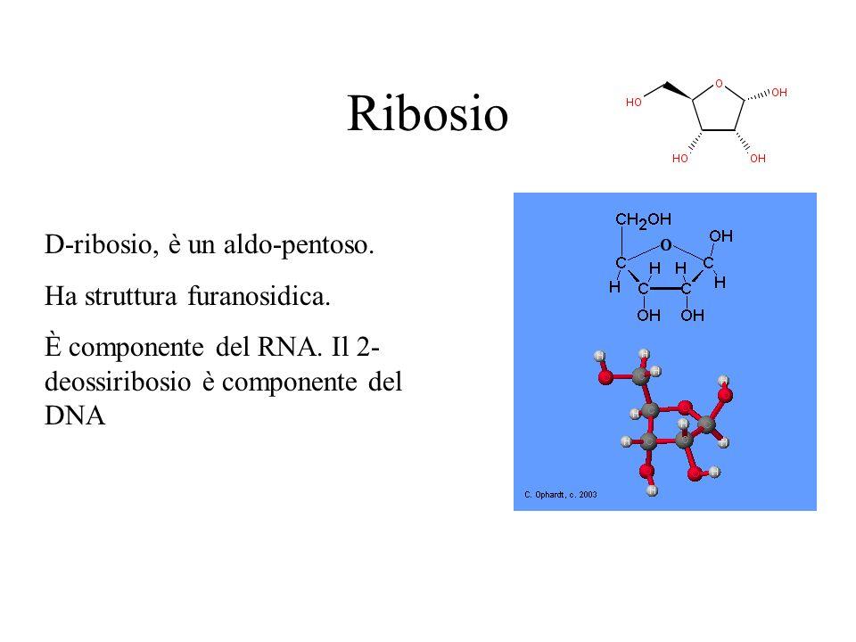 Ribosio D-ribosio, è un aldo-pentoso. Ha struttura furanosidica. È componente del RNA. Il 2- deossiribosio è componente del DNA