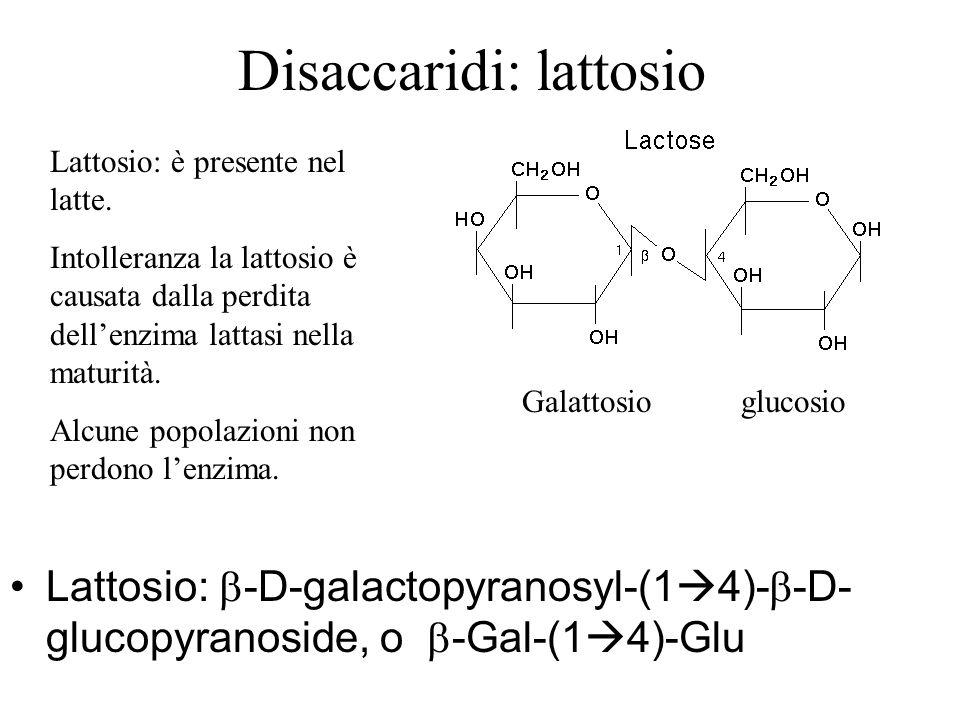 Disaccaridi: lattosio Lattosio: -D-galactopyranosyl-(1 4)- -D- glucopyranoside, o -Gal-(1 4)-Glu Galattosio glucosio Lattosio: è presente nel latte. I