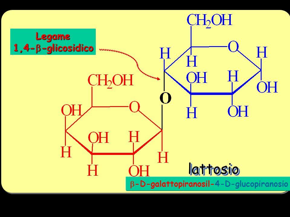 lattosiolattosio -D-galattopiranosil-4-D-glucopiranosio Legame 1,4--glicosidico
