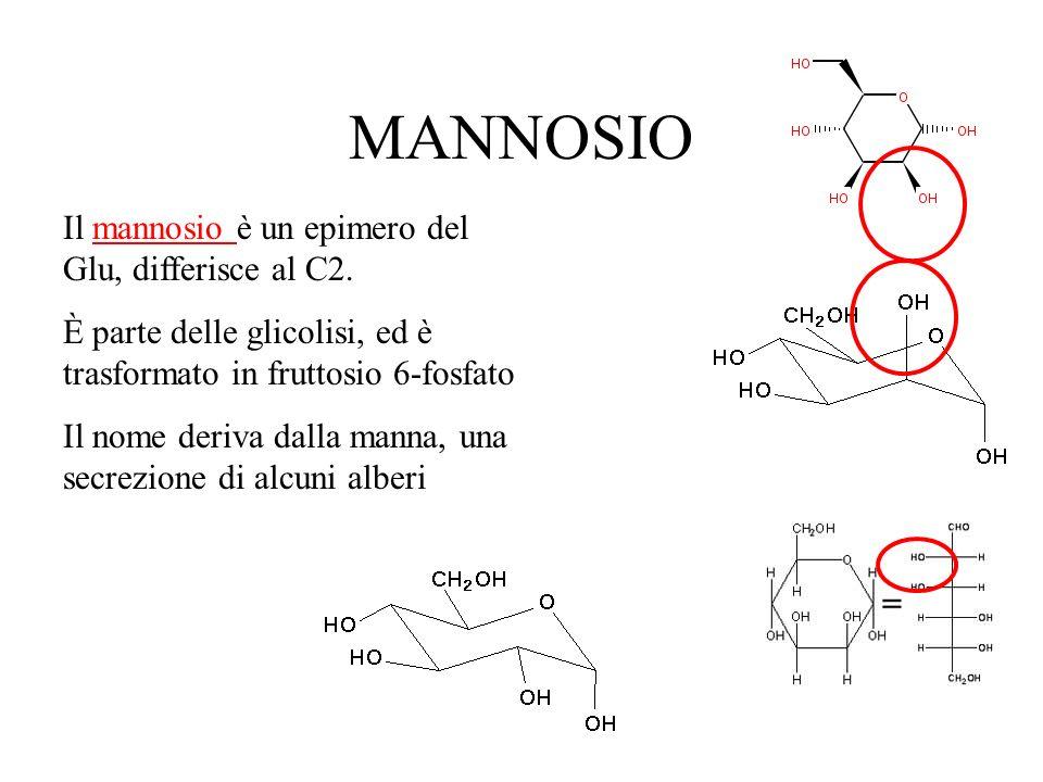MANNOSIO Il mannosio è un epimero del Glu, differisce al C2.mannosio È parte delle glicolisi, ed è trasformato in fruttosio 6-fosfato Il nome deriva d