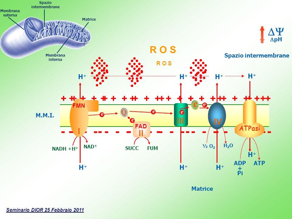 R O S + + + + + + + + + + + + + + + + + + + + - - - - - - - - - - - - - - - - - - - - ------- - +++++++ + Matrice M.M.I. Q c ½ O 2 H2OH2O H+H+ ADP + P