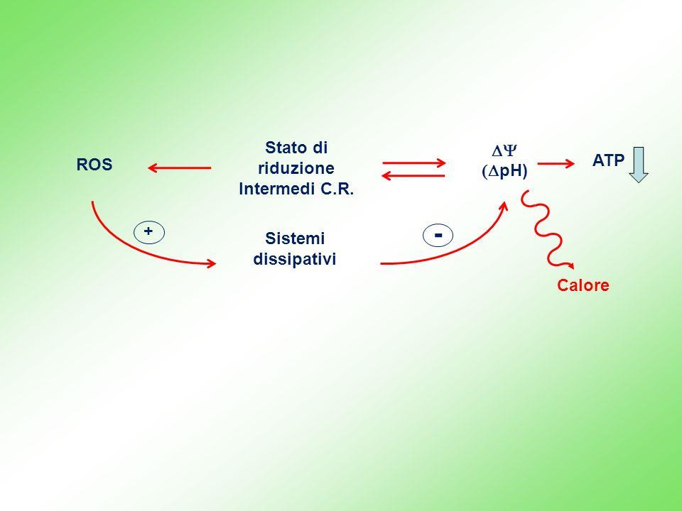 ROS Stato di riduzione Intermedi C.R. pH) Sistemi dissipativi + - ATP Calore