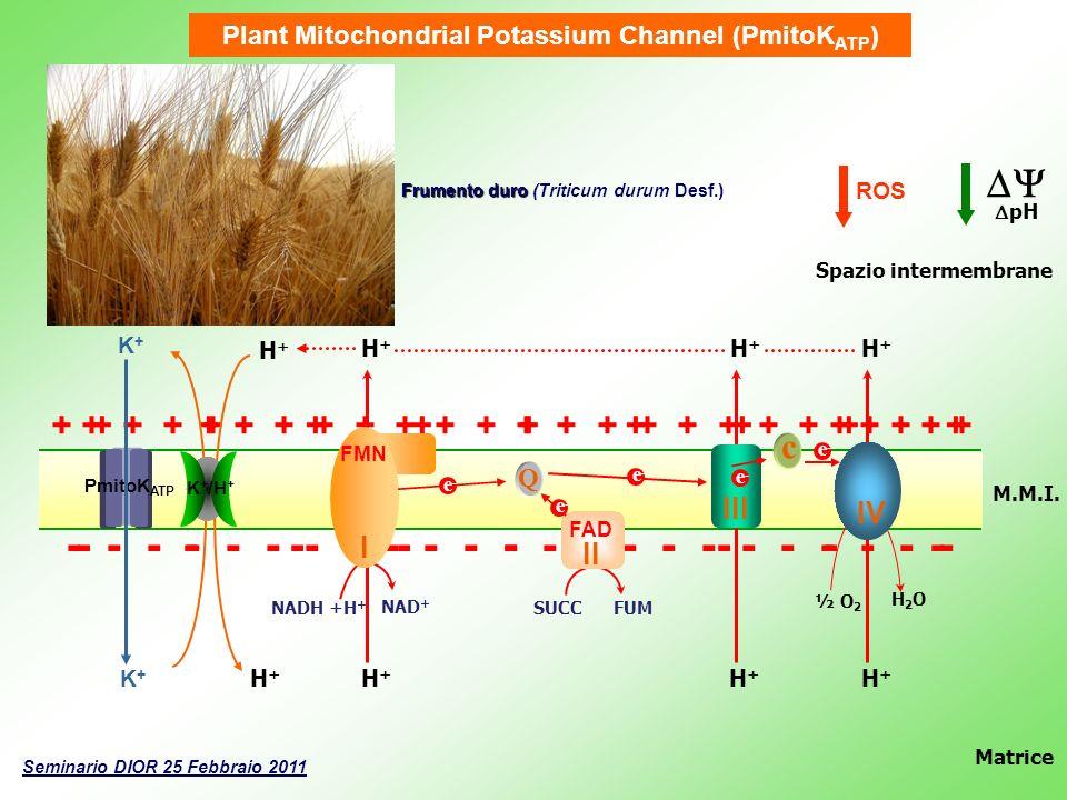 Plant Mitochondrial Potassium Channel (PmitoK ATP ) + + + + + + + + + + + + + + + + + + + + + + + + + - - - - - - - - - - - - - - - - - - - - - - - --