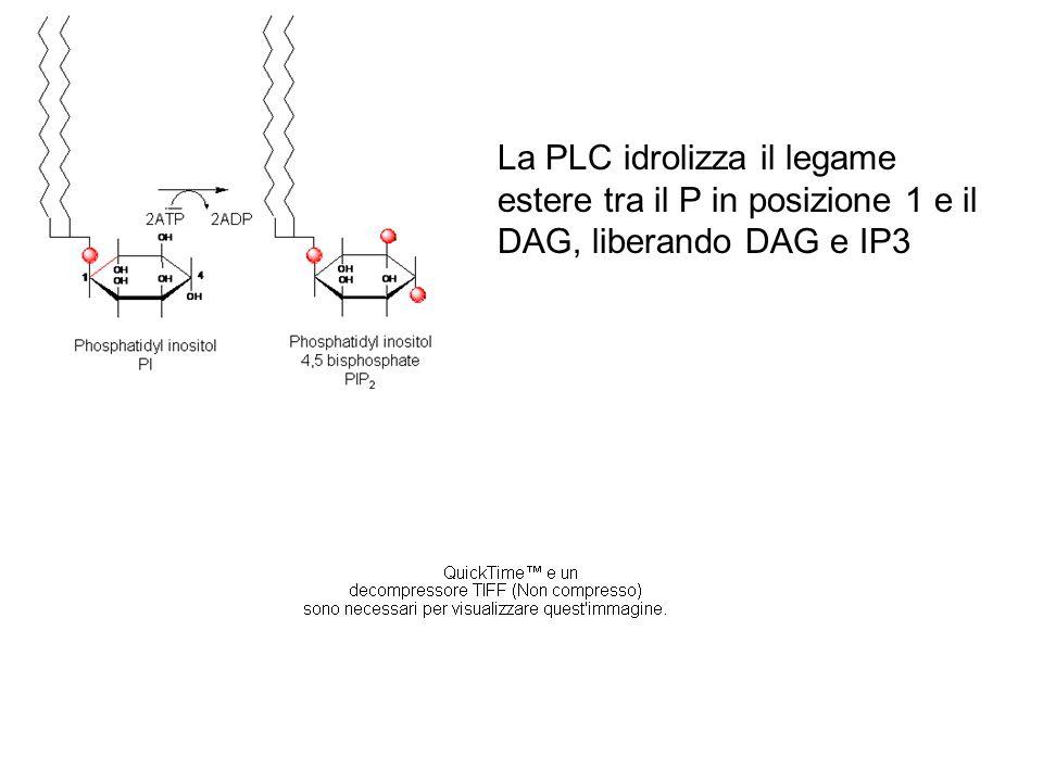 La PLC idrolizza il legame estere tra il P in posizione 1 e il DAG, liberando DAG e IP3