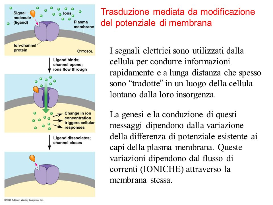 Trasduzione mediata da modificazione del potenziale di membrana I segnali elettrici sono utilizzati dalla cellula per condurre informazioni rapidament