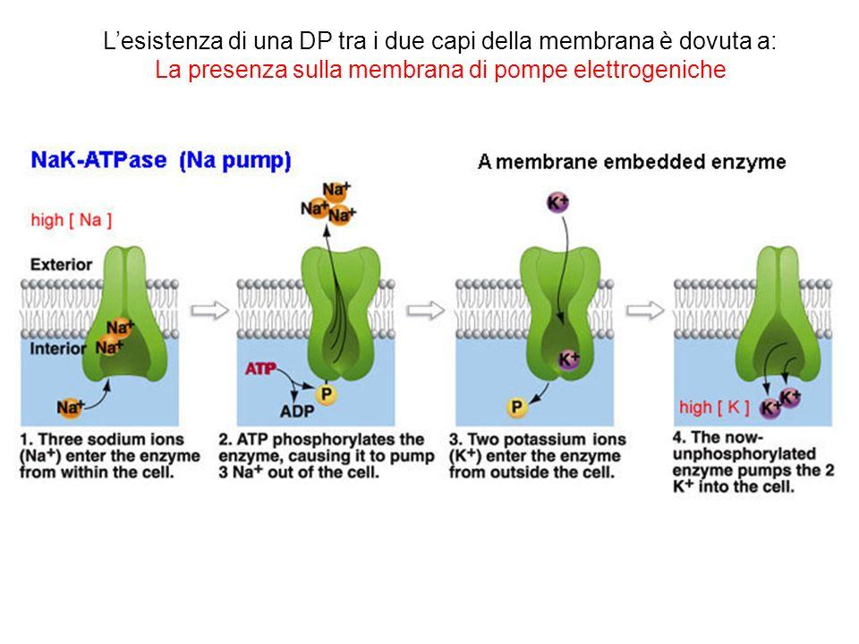 Lesistenza di una DP tra i due capi della membrana è dovuta a: La presenza sulla membrana di pompe elettrogeniche