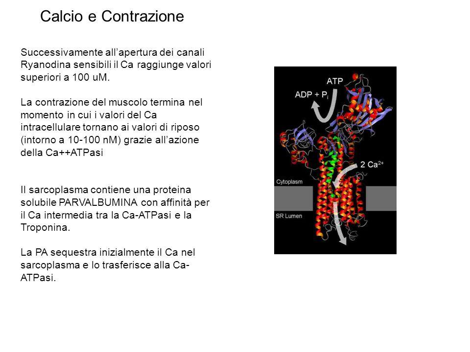 Successivamente allapertura dei canali Ryanodina sensibili il Ca raggiunge valori superiori a 100 uM. La contrazione del muscolo termina nel momento i