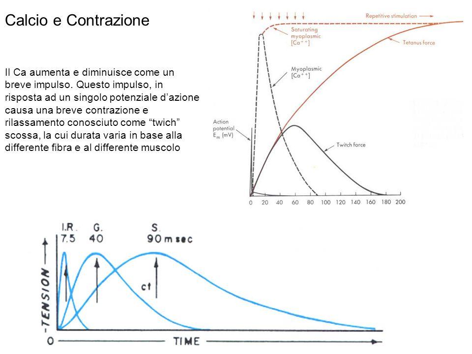 Il Ca aumenta e diminuisce come un breve impulso. Questo impulso, in risposta ad un singolo potenziale dazione causa una breve contrazione e rilassame