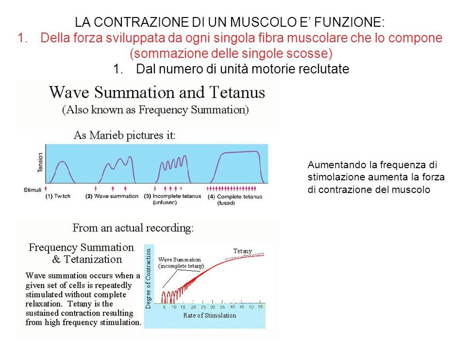 LA CONTRAZIONE DI UN MUSCOLO E FUNZIONE: 1.Della forza sviluppata da ogni singola fibra muscolare che lo compone (sommazione delle singole scosse) 1.D