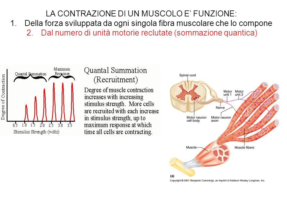 LA CONTRAZIONE DI UN MUSCOLO E FUNZIONE: 1.Della forza sviluppata da ogni singola fibra muscolare che lo compone 2.Dal numero di unità motorie recluta