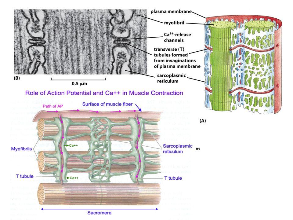 Per unità motoria si intende il complesso formato da un motoneurone e da tutte le fibre da esso innervate.