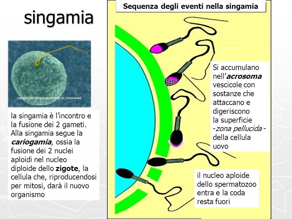 singamia Sequenza degli eventi nella singamia Si accumulano nellacrosoma vescicole con sostanze che attaccano e digeriscono la superficie -zona pelluc