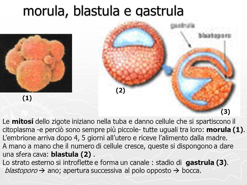 morula, blastula e gastrula Le mitosi dello zigote iniziano nella tuba e danno cellule che si spartiscono il citoplasma -e perciò sono sempre più picc