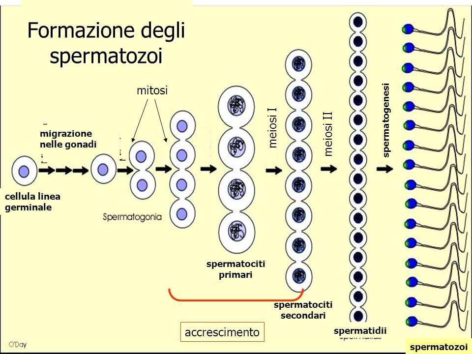 spermatociti primari spermatociti secondari spermatidii cellula linea germinale meiosi II migrazione nelle gonadi mitosi accrescimento spermatozoi spe