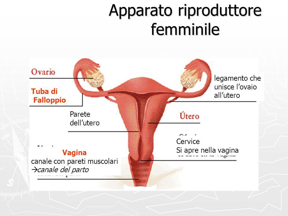 Apparato riproduttore femminile Tuba di Falloppio Vagina canale con pareti muscolari canale del parto Cervice Si apre nella vagina Parete dellutero le