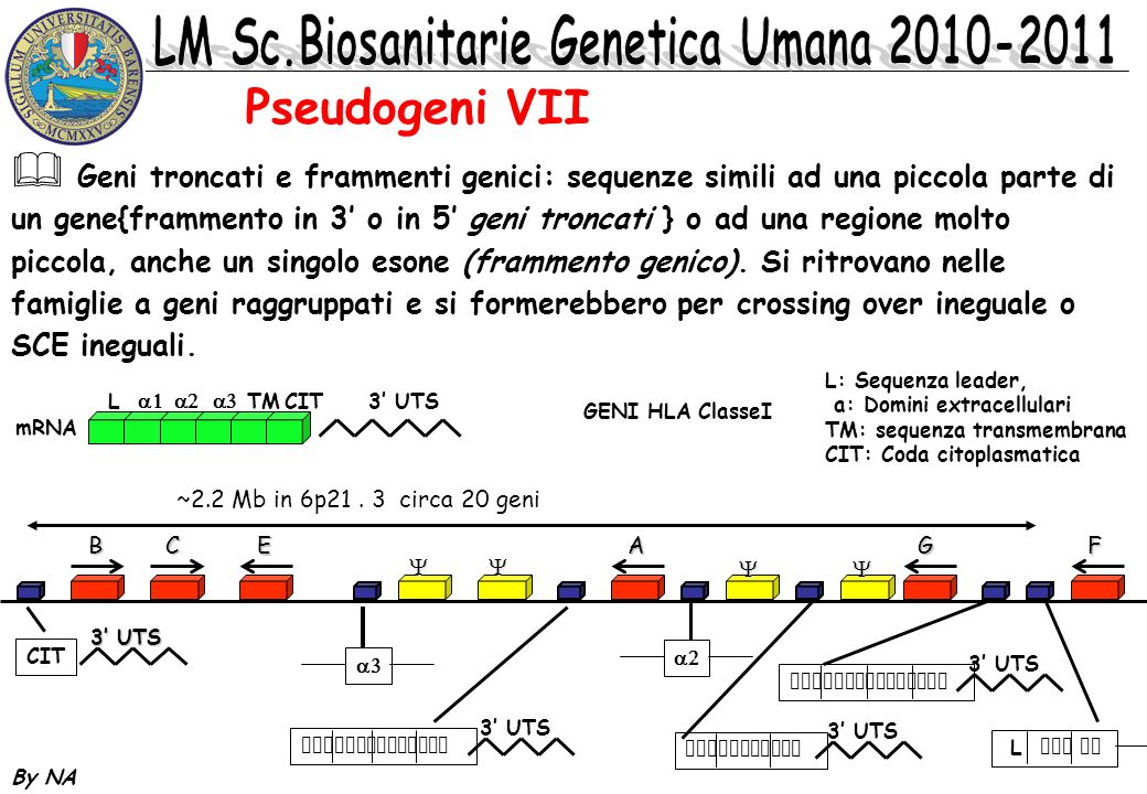 By NA Geni troncati e frammenti genici: sequenze simili ad una piccola parte di un gene{frammento in 3 o in 5 geni troncati } o ad una regione molto p