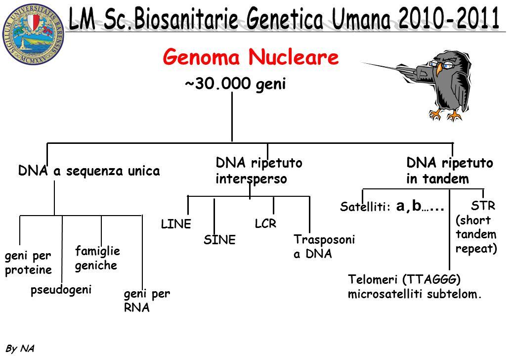 By NA DNA RIPETUTO IN TANDEM: i blocchi possono mappare su piu cromosomi a seconda delle dimensioni medie delle unita si suddivide in: DNA satellite DNA minisatellite DNA microsatellite DNA RIPETUTO INTERSPERSO: Le singole unita sono sparse nel genoma.