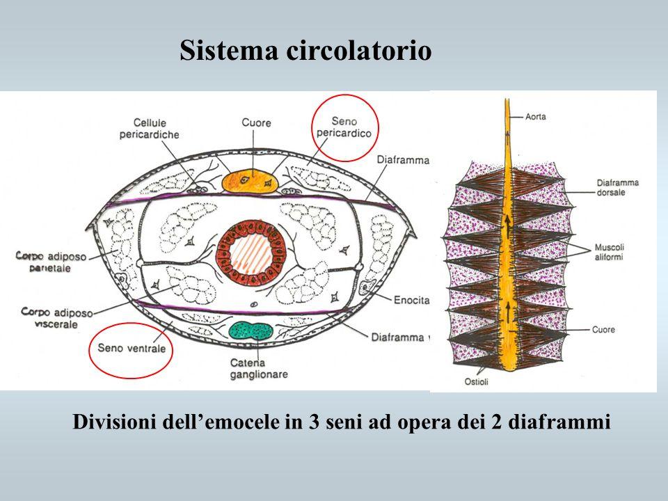 Sistema circolatorio Divisioni dellemocele in 3 seni ad opera dei 2 diaframmi
