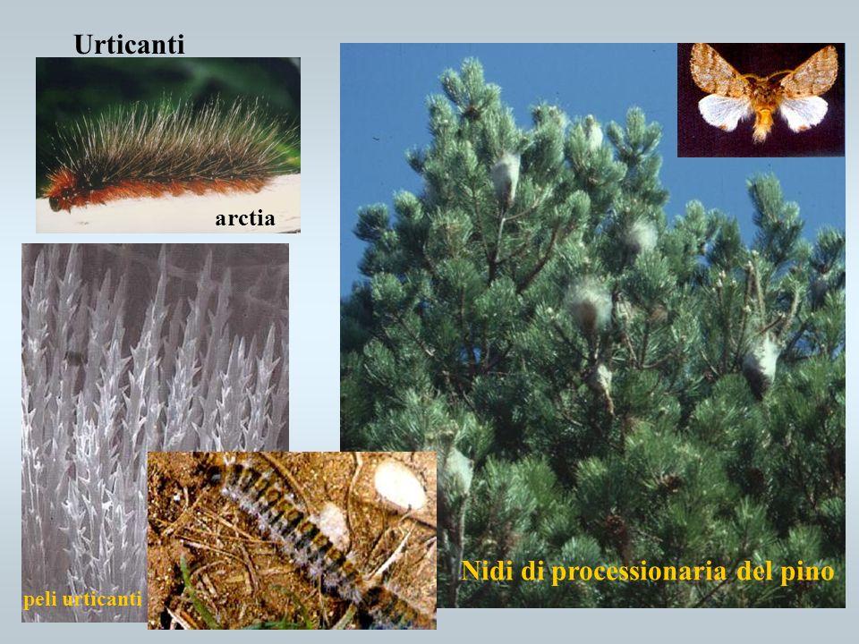 Urticanti arctia Nidi di processionaria del pino peli urticanti