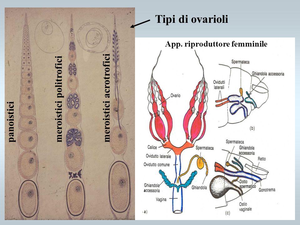 Tipi di ovarioli panoistici meroistici politrofici meroistici acrotrofici App. riproduttore femminile