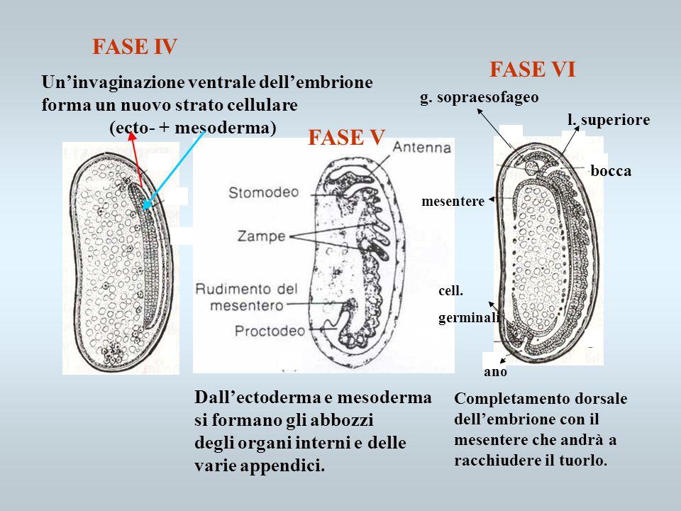 g. sopraesofageo l. superiore bocca ano Uninvaginazione ventrale dellembrione forma un nuovo strato cellulare (ecto- + mesoderma) FASE IV FASE VI cell