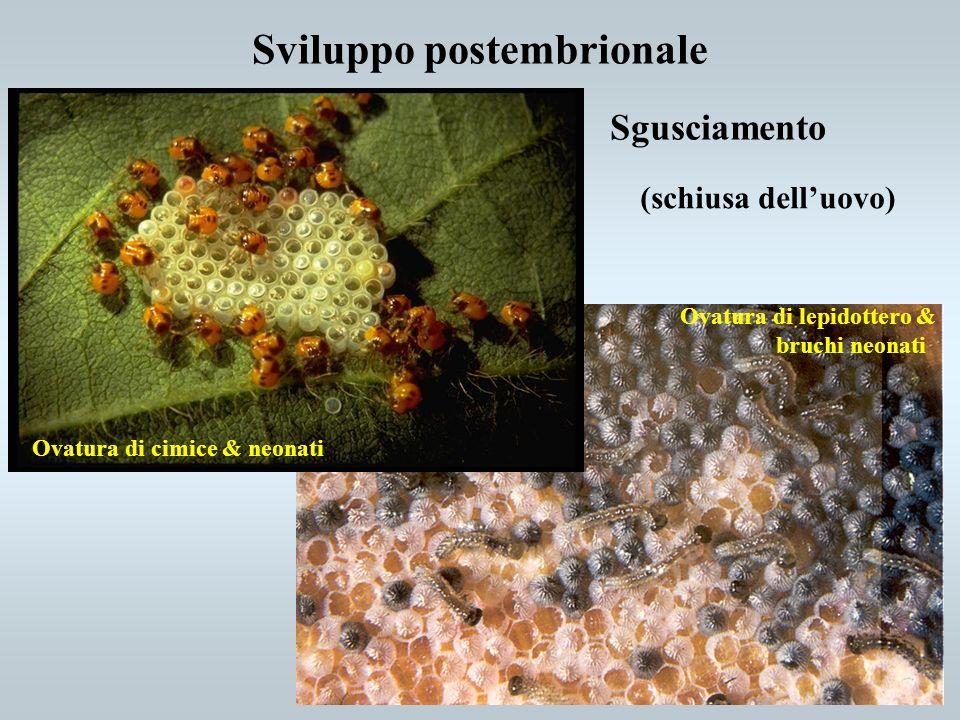 Sviluppo postembrionale Sgusciamento (schiusa delluovo) Ovatura di cimice & neonati Ovatura di lepidottero & bruchi neonati